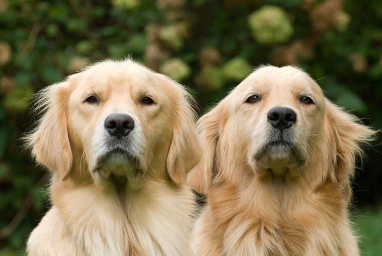 zwei-goldene-golden-retriever-hunde-schauen-in-kamera