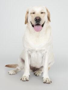 laprador-hund-macht-augen-zu-versicherbodo-hundehaftpflicht