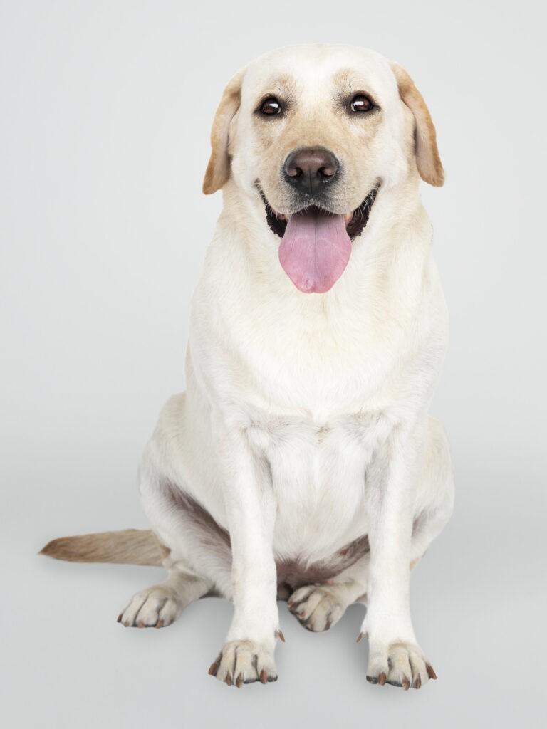 laprador-hund-streckt-zunge-heraus-versicherbodo-hundehaftpflicht